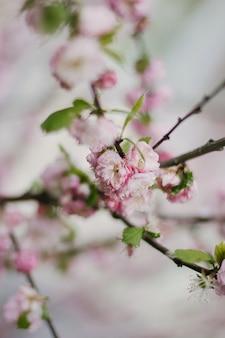 Różowy kwiat wiśni lub kwiat sakury na wiosnę.