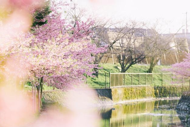 Różowy kwiat wiśni lub kwiat sakury w pełnym rozkwicie w kioto w japonii.