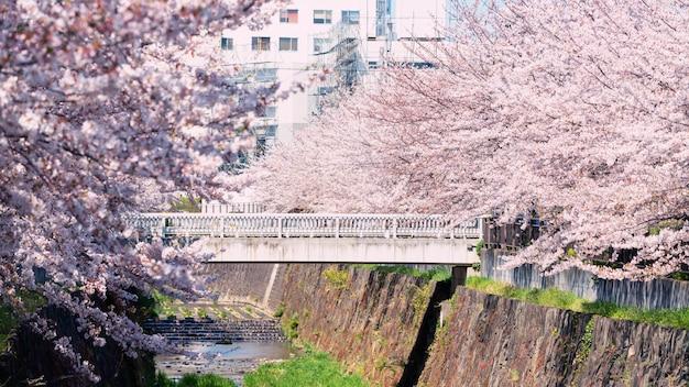 Różowy kwiat wiśni lub sakura, nagoya