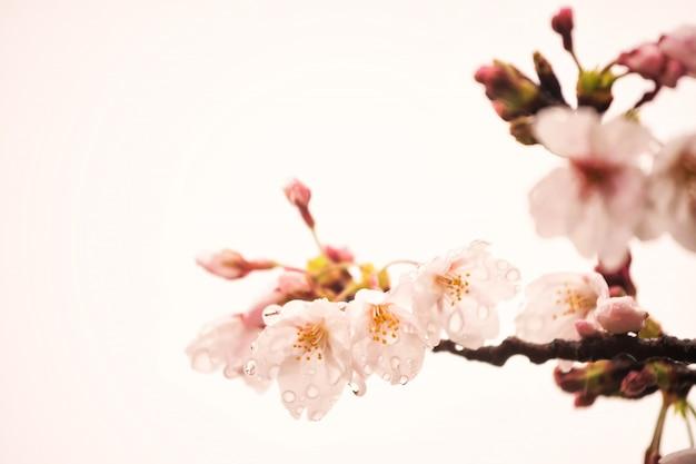Różowy kwiat wiśni lub sakura z rosą