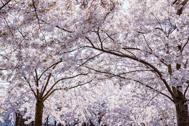 Różowy kwiat wiśni (sakura) w parku