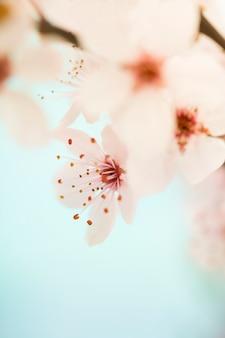 Różowy kwiat wiśni