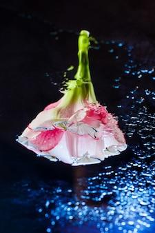 Różowy kwiat z kroplami wody na ciemnoniebieskiej powierzchni