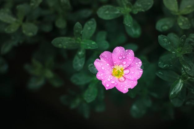 Różowy kwiat z kroplami wody na płatkach