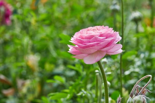 Różowy kwiat z rozmytym tłem roślinności