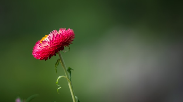 Różowy kwiat