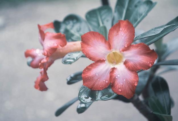 Różowy kwiatu kwitnienie z deszcz kropli wiosny natury świeżym tłem