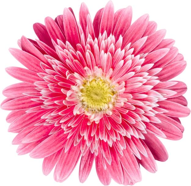 Różowy ładny kwiat, z bliska, na białym tle