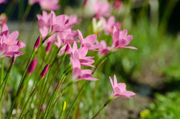 Różowy leluja kwiat, purpura, menchia, czerwień, kosmos kwitnie w ogródzie z plamy tłem