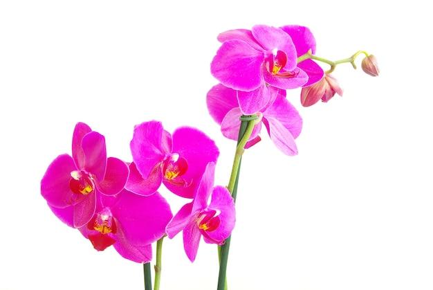 Różowy łodygi orchidei na białym tle