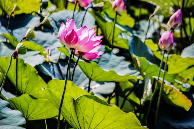 Różowy lotos na stawie