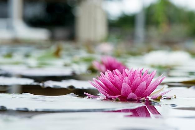 Różowy lotos na tle przyrody.
