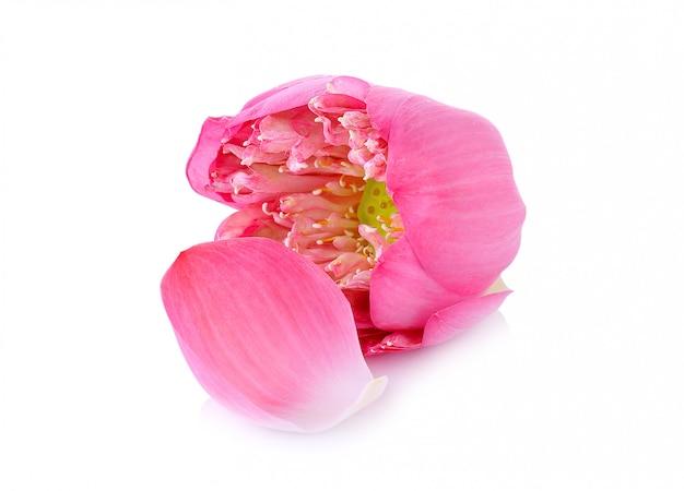 Różowy lotos odizolowywa na białym tle