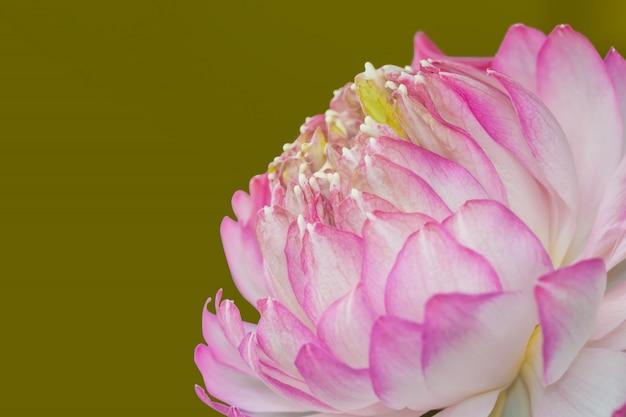 Różowy lotos odizolowywający na zielonym tle