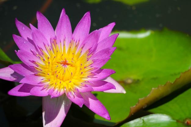 Różowy lotosowy kwiat folował kwitnienie w stawie i plama ochraniaczu na wodnym tle