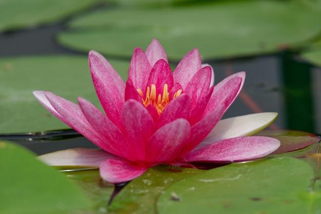 Różowy lotosowy kwiat kwitnie z zielonym lotosowym liściem