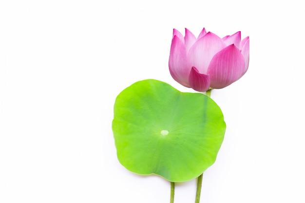 Różowy lotosowy kwiat z zielonymi liśćmi na białym tle.
