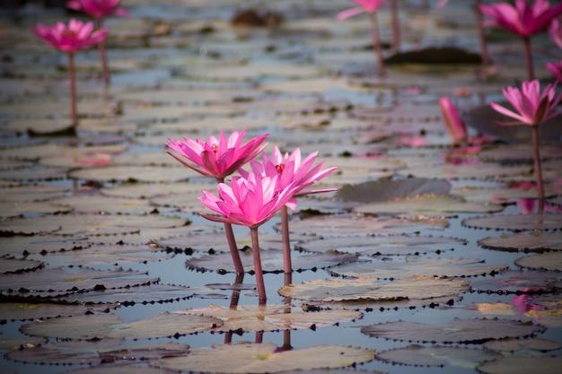 Różowy lotosowy kwitnienie w stawie