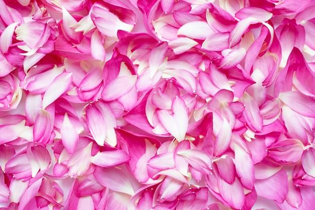 Różowy lotosowy płatka kwiat dla tła.