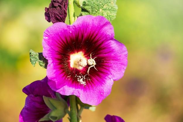Różowy malwy z bliska na rozmytym tle. pająk na kwiatku