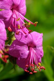 Różowy mały kwiat z bliska na wiosennej łące w słoneczny dzień fotografia makro