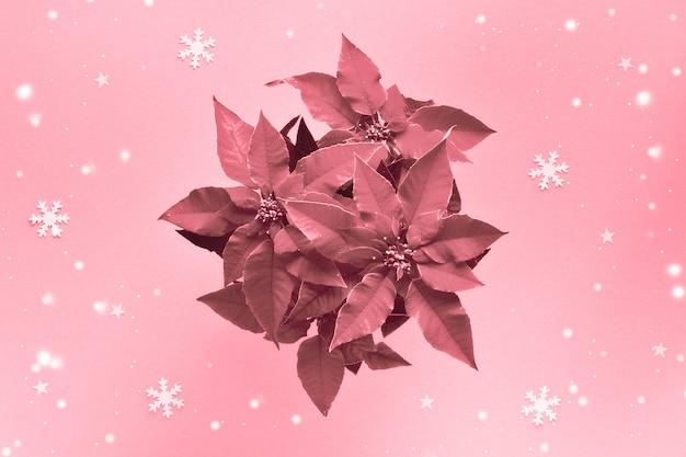 Różowy monochromatyczny obraz poinsettia, boże narodzenie gwiazda roślin. ściana świąteczna, mieszkanie leżało na lekkiej papierowej ścianie z małymi gwiazdkami i płatkami śniegu.