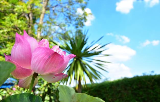 Różowy nelumbo nucofera lotus z niebieskim niebem