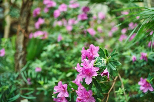 Różowy oleander kwitnie tło, tropikalna dżungla opuszcza