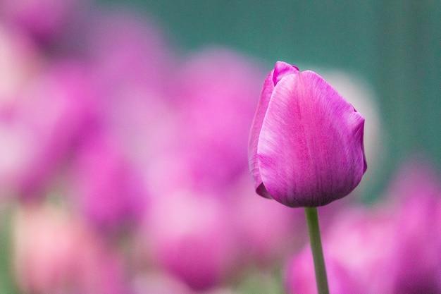 Różowy pączek kwiatu w soczewce z funkcją tilt shift