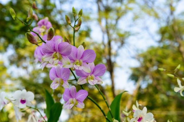 Różowy pasmowy kwiat orchidei