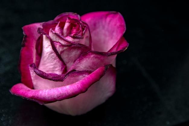 Różowy piękny kwiat róży / duże pąki róży z płatkami / kwitnienie i piękno natury / kwiatowe tło