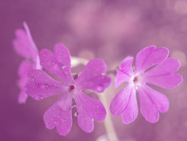 Różowy piękny kwiat wiesiołka zdjęcie sztuki. zbliżenie.