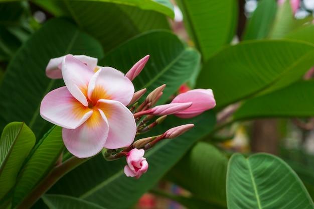 Różowy plumeria kwitnie z liścia tłem
