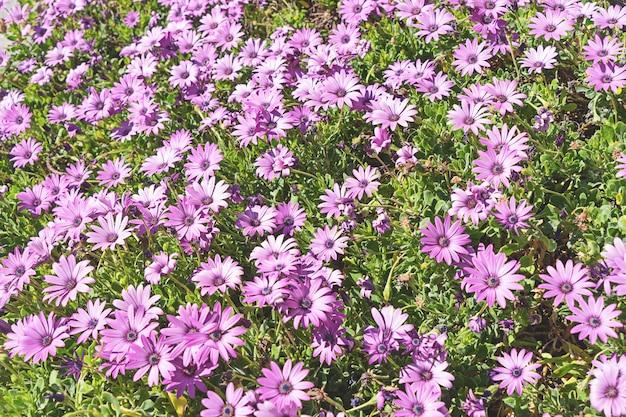 Różowy podeszczowy stokrotka krzaka kwiat w kwiacie. naturalne kwitnące kwiaty w ogrodzie