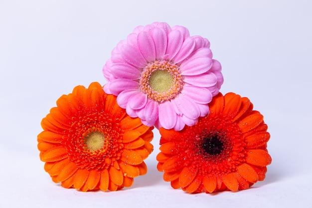 Różowy, pomarańczowy i czerwony gerbera na białym tle z kropli wody. zakończenie, selekcyjna ostrość, odizolowywa.