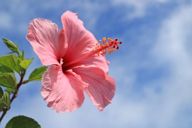 Różowy poślubnik w świetle słonecznym przeciw błękitnemu i chmurnemu niebu