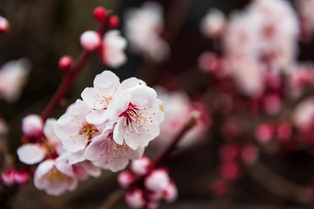 Różowy sakura w pełnym rozkwicie lub kwiat wiśni