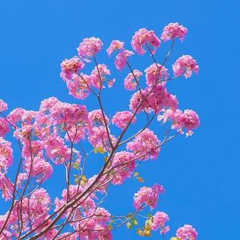 Różowy tabebuia kwiat na niebieskiego nieba tle.