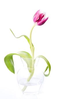 Różowy tulipan na białym tle