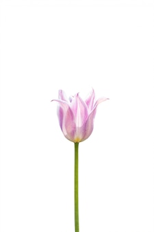 Różowy tulipan odizolowywający na białym tle