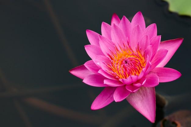Różowy waterlily z miejsca na kopię