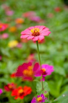 Różowy wiosenny kwiat stokrotki