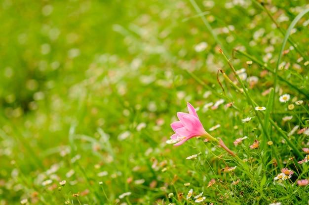 Różowy zephyrlily i rozmycie tła