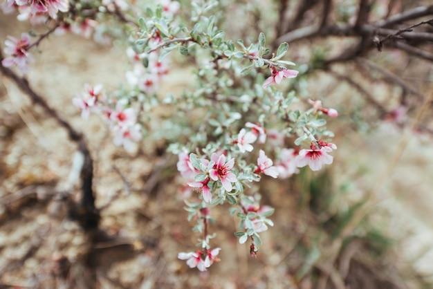 Różowych migdałów kwiatu czereśniowy zbliżenie. kwiaty wiosenne