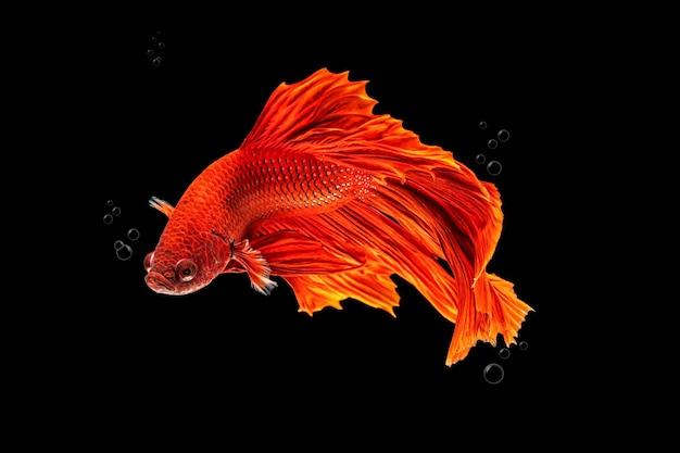 Ruch piękny kolorowych ryb syjamskich betta lub półksiężyca betta splendens bojowników