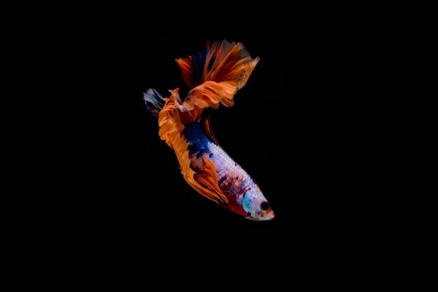 Ruch syjamska betta ryba odizolowywająca na czarnym tle.