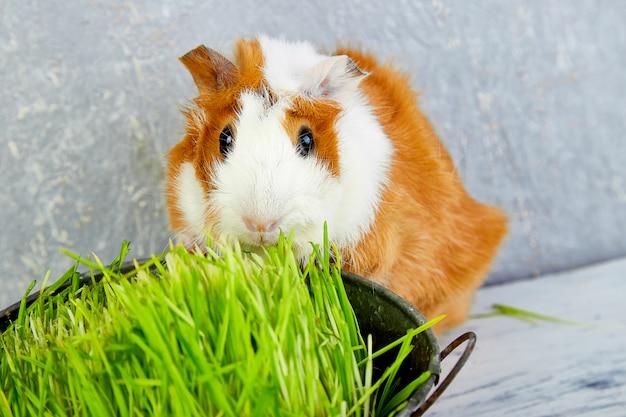 Ruda świnki morskiej w pobliżu wazon ze świeżą trawą.