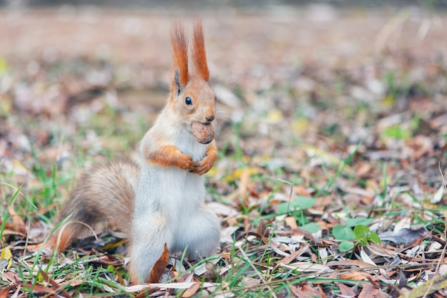 Ruda wiewiórka stoi z orzechem w pysku. sciurus vulgaris.