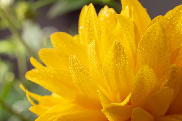 Rudbeckia kwiaty z bliska.