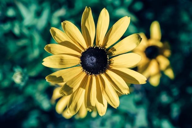 Rudbekia hirta żółta znana również jako blackeyed lub browneyed susan